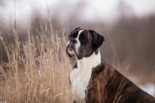 Dog Breed Boxer In Winter Field