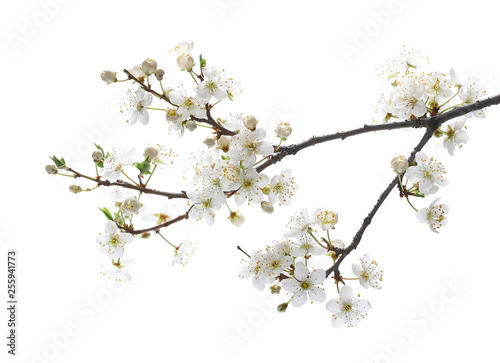 Fotografia Blooming plum tree flowers isolated on white background