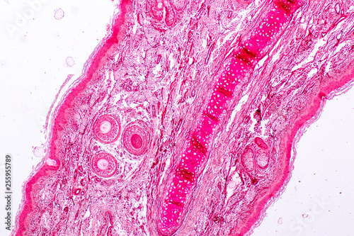 Education Anatomy And Histological Sample Elastic Cartilage Tisue Under The Microscope Buy This Stock Photo And Explore Similar Images At Adobe Stock Adobe Stock