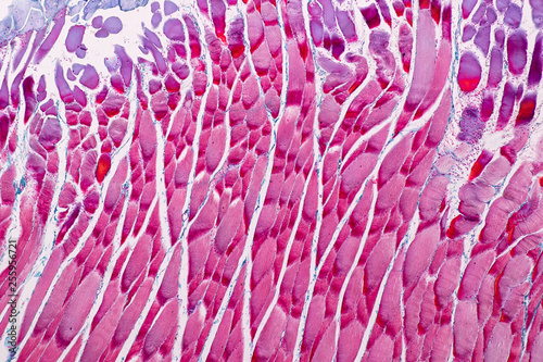 Education anatomy and Histological sample Striated (Skeletal) muscle of mammal Tissue under the microscope Fototapet