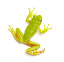 Green Tree Frog