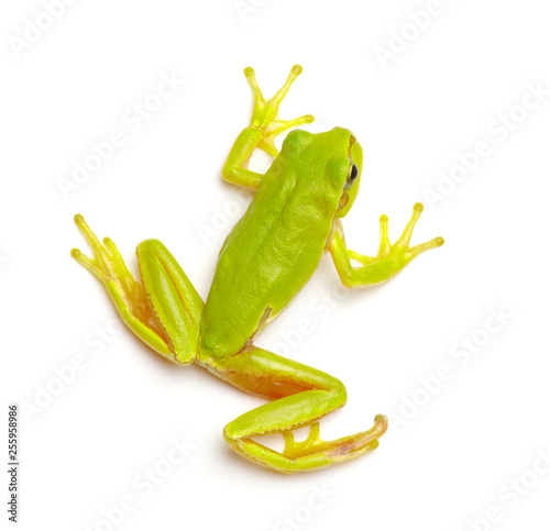 Green tree frog Poster Mural XXL