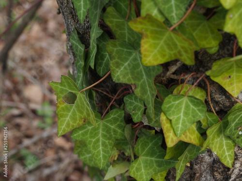 Fotografija  edera sul tronco, edera rampicante, rampicante