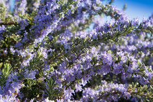 The Rosemary Plant In Bloom