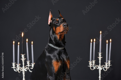 Fotografia, Obraz Beautiful young Doberman portrait on the black wall background and candlesticks