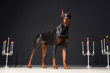 A Beautiful Young Doberman Sta...