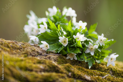 Photo White flowers anemone in forest. First spring flowers
