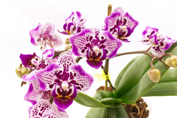 Flower Branch of Spotted Phalaenopsis Orchid