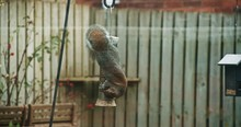 Gray Squirrel Eating Bird Seed