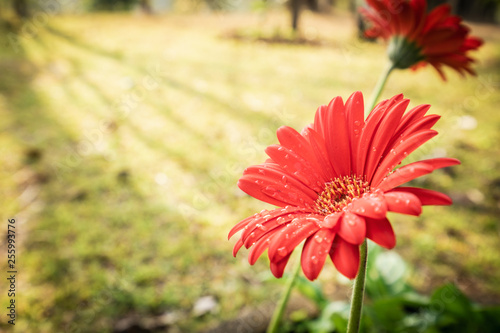 Gerbera or barberton daisy flower group blooming with water drops and sun light Canvas Print