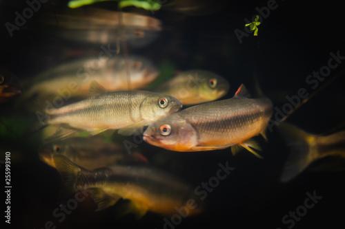 Fotobehang Fish in an aquarium on a black background.