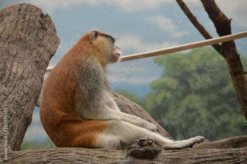 Fotografie, Obraz  A Patas Monkey