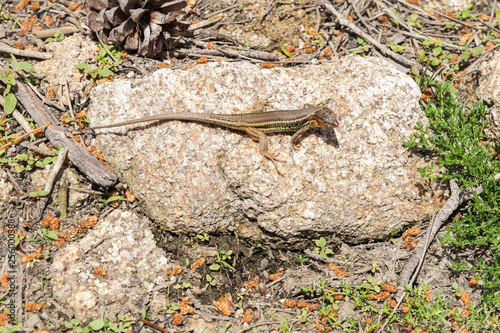 Photo  small lizard watching between the stones