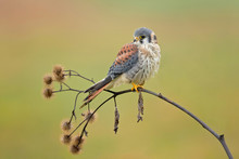 American Kestrel (Falco Sparve...