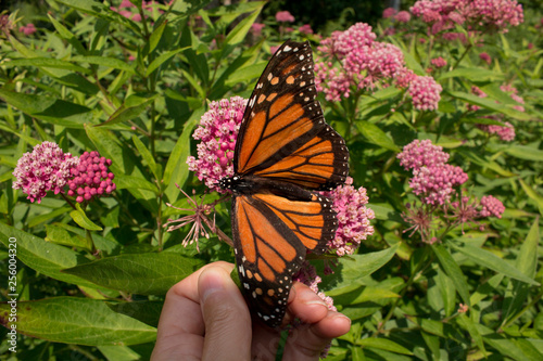 Monarch butterfly with open wings resting on a gardener's hand