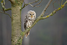 Ural Owl (Strix Uralensis) Is A Medium-sized Nocturnal Owl Of The Genus Strix, With Up To 15 Subspecies Found In Europe And Northern Asia.
