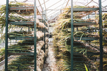 Fresh Organic Garlics On Rack ...