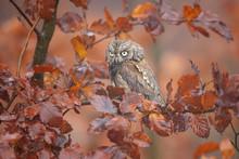 Eurasian Scops Owl (Otus Scops), Also Known As The European Scops Owl Or Just Scops Owl, Is A Small Owl.