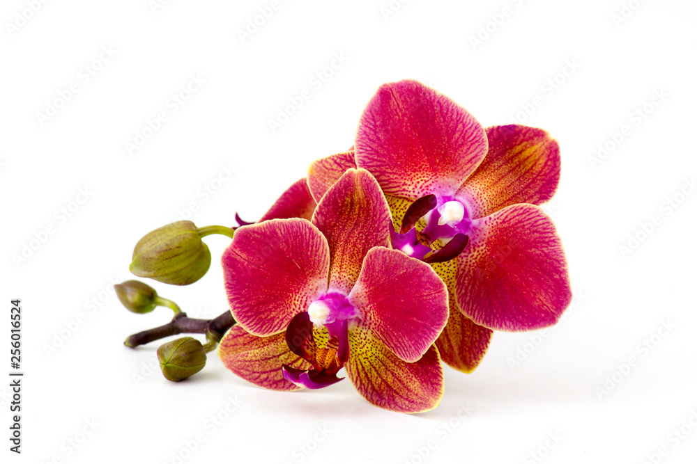 Fototapety, obrazy: Beautiful colorful orchid - phalaenopsis - white background