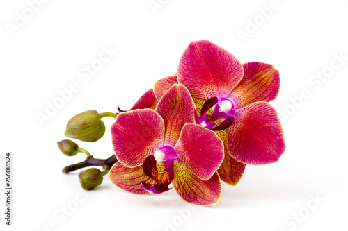 Tuinposter Orchidee Beautiful colorful orchid - phalaenopsis - white background