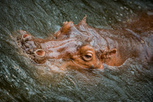 Hippopotamus Submerged In The Water Close-up Of It's Head