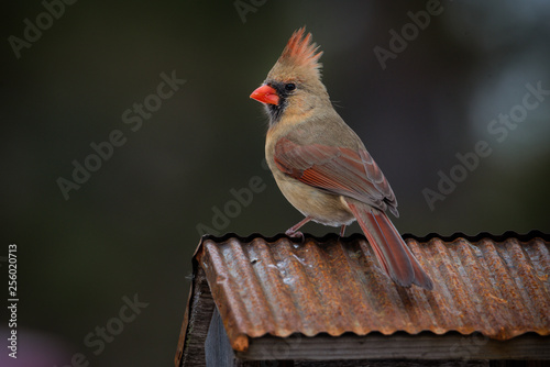 female cardinal sitting on copper roof Canvas Print
