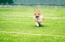 Little Puppy Red Dog Breed Corgi Fun Running Around The Green Football Field On The Playground On The Streets In The City For A Walk