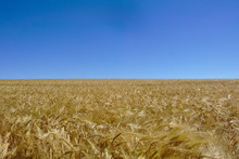 Wheat Filed Under Blue Sky