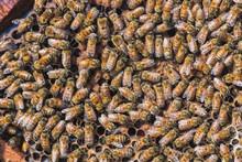 Colony Of Honeybee On Honeycomb