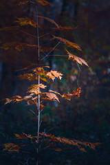 Klon z pomarańczowymi liśćmi pod słonecznymi promieniami w jesień lesie.