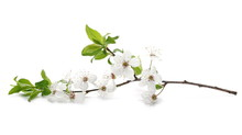 Blooming Plum Flowers Isolated...