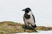 Hooded Crow (Corvus Cornix) Sitting On Ground On Thawed Patch On Lawn In Early Spring Looking For Food. Common Urban Bird In Wildlife.
