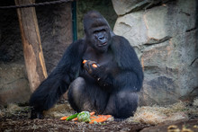 Male Gorilla With Food In Fran...