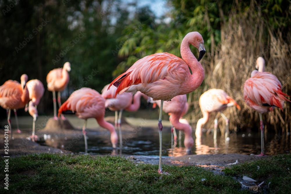 Fototapeta Flamingos in Frankfurt Zoo