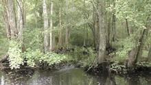 Great Dismal Swamp Water Trees...