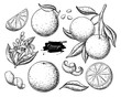 Orange fruit vector drawing set. Summer food engraved  illustration.