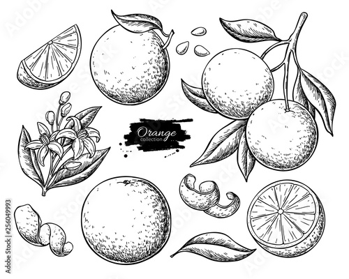 Tablou Canvas Orange fruit vector drawing set