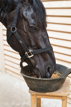 Portrait Of Feeding  Black Horse In Stable