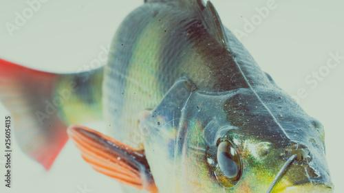 Okoń abbor perch ryba fish fiske Canvas Print