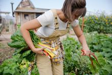 Woman Farmer Picks Rainbow Chard