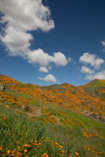 View Of People Hiking On Trail Overlooking California Poppy Field