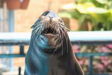 Sea Lion Seal Animal Mammal Oc...