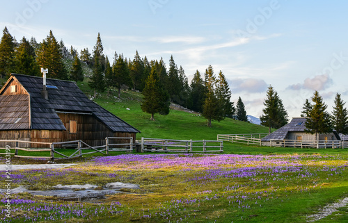 Beautiful and typical wooden huts with beautiful wild flowers in spring time.  Velika planina, Slovenia, in april 2018. Editorial photo.