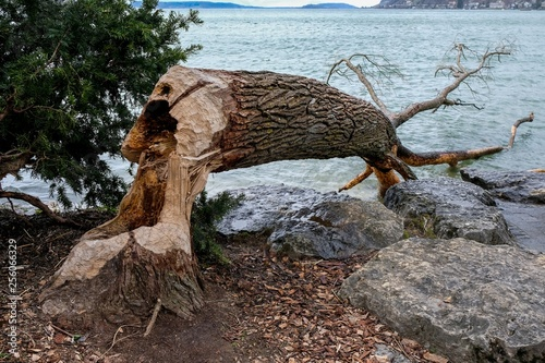 Tree trunk in water with beaver damage фототапет