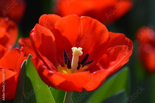Photo  Tulips in the garden
