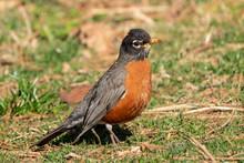 Male American Robin( Turdus Mi...