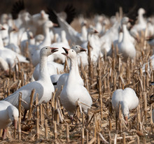 Two Snow Geese Feeding In Cornfield