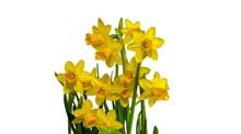 Yellow Daffodils In Vase Isola...