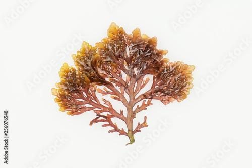 Fotografiet Pepper dulse seaweed