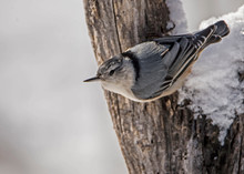 Nuthatch Hanging Upside Down Feeding On Sunflower Seed.